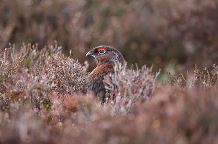 Red Grouse, on Scottish moorland