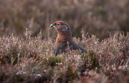 moorland: Red Grouse, on Scottish moorland