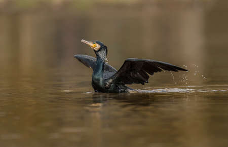 Cormorant on a pond displaying, close up Stock Photo