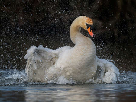 Mute swan displaying on a pond, close up