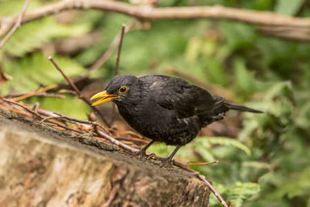 Blackbird perched on a tree trunk, close up Stock Photo