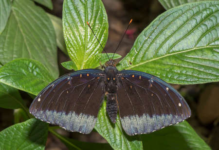 Common archduke butterfly perched on a leaf Stock Photo