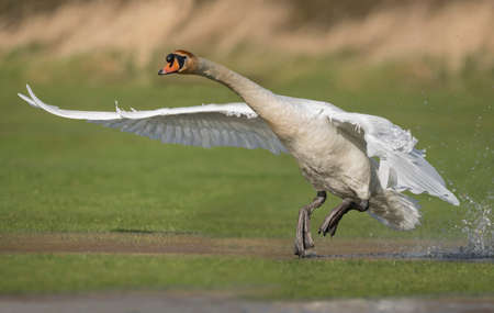 Mute swan flying from a puddle of water
