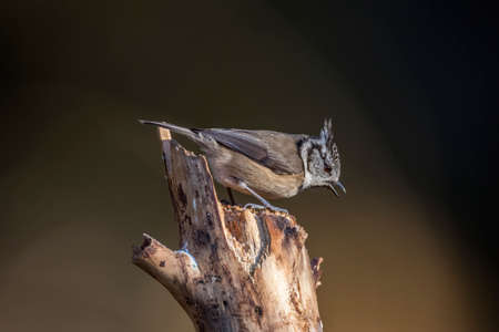 Crested tit perched on a tree stump
