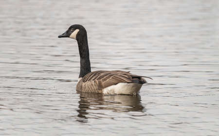 canadensis: Canada Goose on a loch, close up
