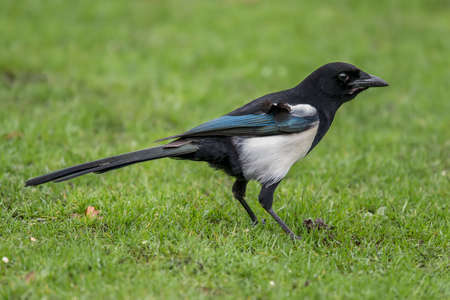 Magpie standing on the grass, close up