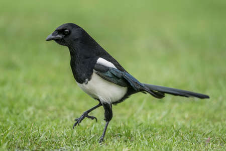Magpie walking on the grass, close up
