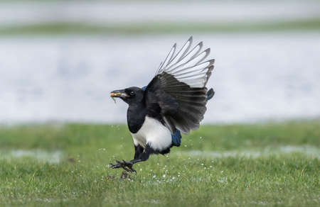 Magpie flying from the wet grass, close up