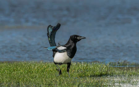 pica: Magpie standing on the grass, in the wind Stock Photo