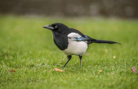scavenger: Magpie standing on the grass, close up