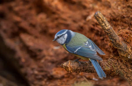 cyanistes: Blue Tit, perched on a branch in a forest