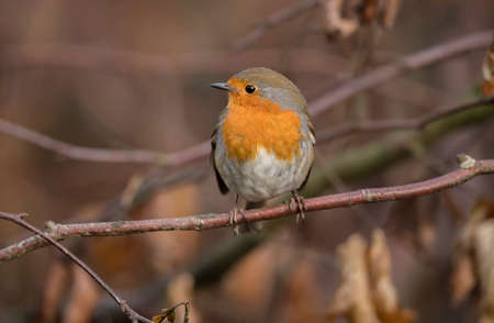 erithacus rubecula: Robin perched on a twig Stock Photo