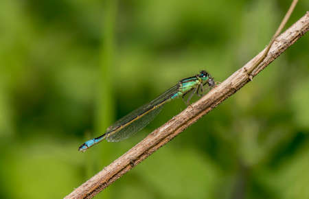 zygoptera: Common blue damselfly resting on a twig