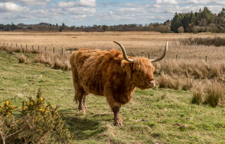 coo: Highland Cow in a field