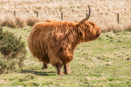 coo: Highland Cow in a field, scratching itself Stock Photo
