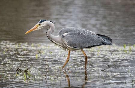 Grey Heron in a loch, close up