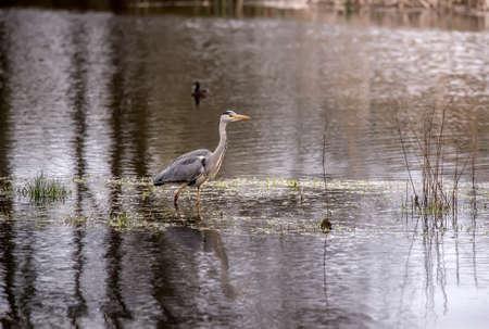 Grey Heron in a loch