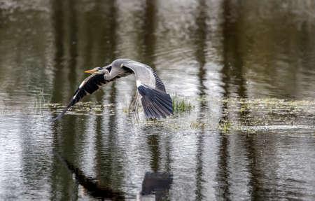 abi: Grey Heron flying over a loch
