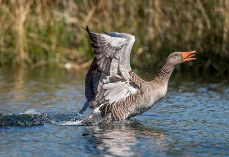 Greylag goose displaying on a Scottish loch Stock Photo