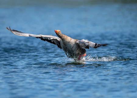 スコットランドのネス湖から飛んでハイイロガン