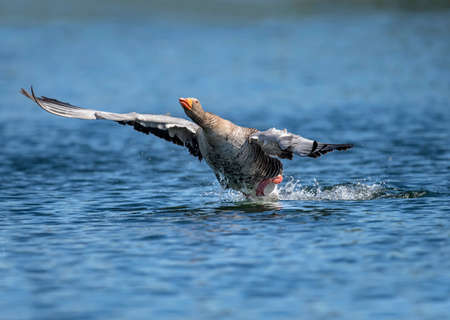 Greylag goose flying from a Scottish loch 版權商用圖片