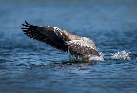abi: Greylag goose flying from a Scottish loch Stock Photo