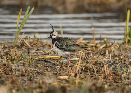 abi: Lapwing in the grass beside a loch
