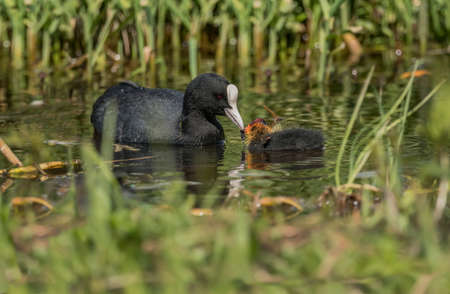 Coot feeding its baby on a loch, close up Stock Photo