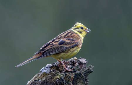 abi: Yellowhammer perched on a tree trunk, close up Stock Photo