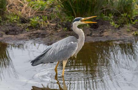 abi: Grey Heron, in a loch, squawking, close up