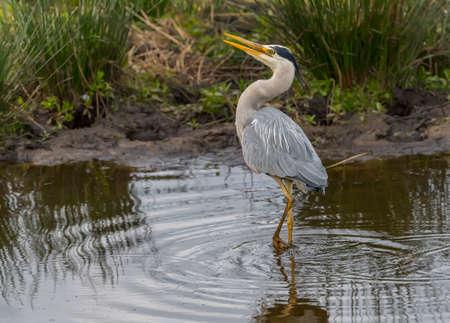 アオサギ、ネス湖閉じる squawking、 写真素材 - 78613669