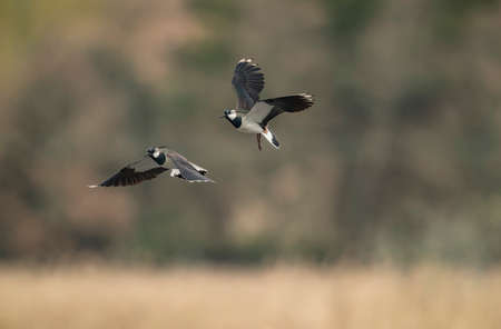 Lapwing flying over a loch, close up