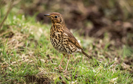 abi: Song thrush, in a Woodland setting, close up