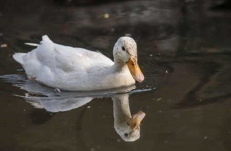 abi: Pekin duck, in a river, close up, with a reflection
