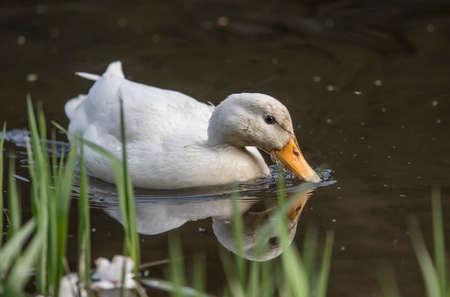 Pekin duck, swimming in a river, close up Stok Fotoğraf