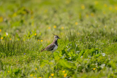 lapwing: Lapwing in a wildflower meadow
