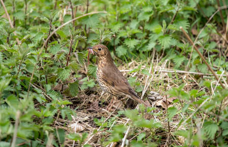 abi: Song thrush, in a Woodland setting, eating a worm