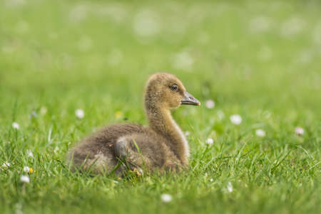 abi: Gosling on the grass, close up