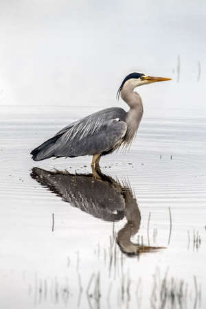 Grey Heron, in a loch eating a fish