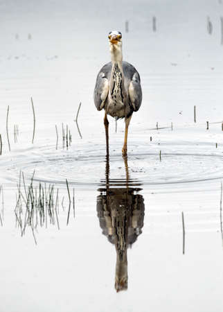 gray herons: Grey Heron, in a loch eating a fish