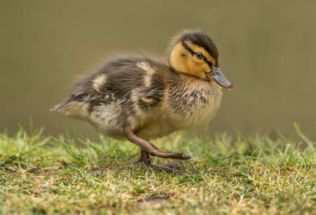 Duckling on the grass, close up