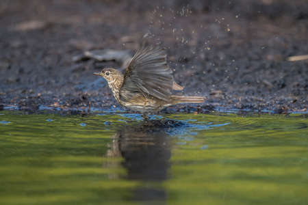 abi: Meadow pipit washing in a pool of water