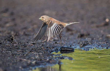 abi: A male Linnet, flying from a puddle of water, close up