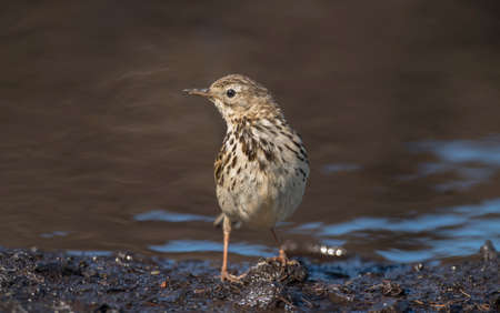 Meadow pipit perched beside a pool of water, close up