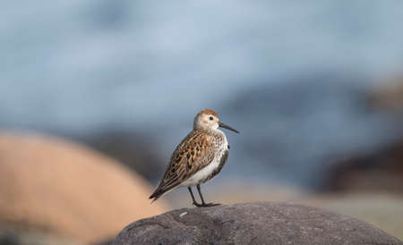 seabird: Dunlin, perched on a rock, in front of the sea Stock Photo