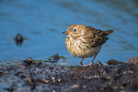 Meadow pipit perched beside a pool of water