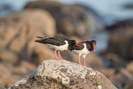 abi: Oystercatchers standing a rock on the beach, close up