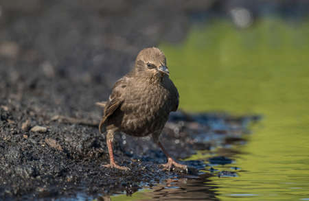 abi: Starling, juvenile perched beside a pool of water, close up