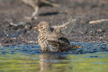 Meadow pipit washing itself in a pool of water