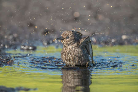 abi: Meadow pipit washing itself in a pool of water